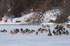 Free Mallard Duck Flock On Ice Stock Photography - 15563762