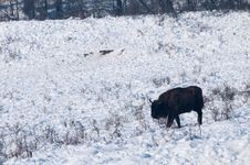 Free European Bison (Bison Bonasus) Walking On Snow Stock Photo - 15563980