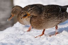 Free Two Mallard Duck (female) On Snow Royalty Free Stock Photo - 15564005