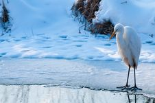 Great White Egret Standing On Ice Stock Image