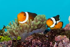 Free Clownfish Pair In Anemone Royalty Free Stock Photography - 15564267