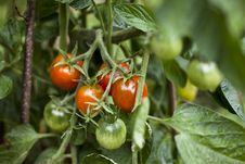 Free Tomatoes Growing Royalty Free Stock Image - 15564286