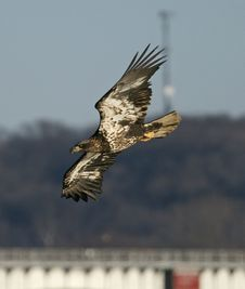 Mississippi River Eagle On The Fish Royalty Free Stock Photo