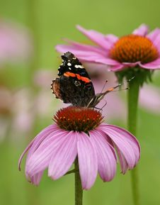 Free Butterfly And A Coneflower Snack 2 Royalty Free Stock Photos - 15564708