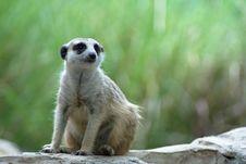 Free Meerkat Stock Images - 15564824