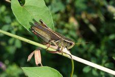 Free Red-legged Grasshopper Royalty Free Stock Photo - 15566335