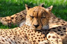 Free Cheetahs. Royalty Free Stock Photography - 15566337