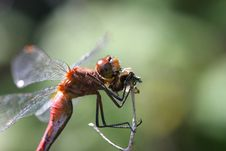 Free Ruby Meadowhawk Dragonfly Royalty Free Stock Image - 15566366