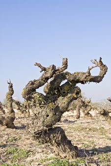 Free Vine Plant Stock Photography - 15566422
