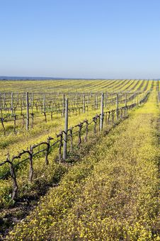 Vineyards With Flowers Royalty Free Stock Photos
