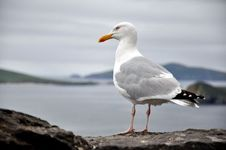 Free End Of Europe - Seagull Abot To Take Flight Stock Photography - 15566712