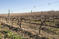 Free Vineyards In Winter Royalty Free Stock Photos - 15566738