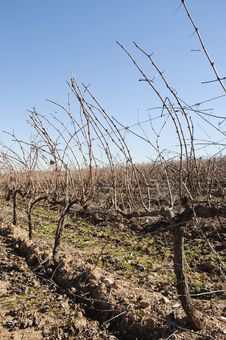 Free Vineyards In Winter Stock Images - 15566784