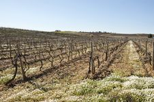Free Vineyards In Winter Stock Image - 15566811