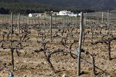 Free Vineyards In Winter Royalty Free Stock Photography - 15566877