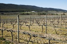 Free Vineyards In Winter Royalty Free Stock Images - 15566899