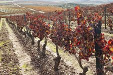 Vineyards In The Fall Stock Images