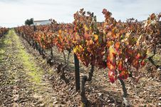 Vineyards In The Fall Royalty Free Stock Photo