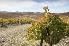 Vineyards In The Fall Stock Photography