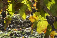 Vineyards In The Fall Royalty Free Stock Images