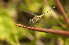 Free Dragonfly Stock Photos - 15567353