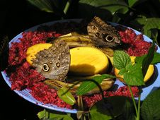 Free Butterflies Eating Fruits Stock Photos - 15567373