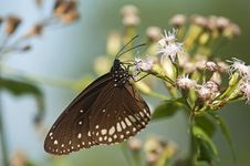 Free Common Egg Fly Butterfly Royalty Free Stock Photos - 15567388