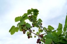 Free Currant Branches Royalty Free Stock Photo - 15567405