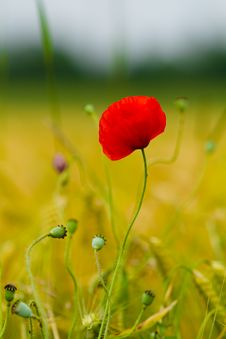Free Red Poppy Royalty Free Stock Images - 15567499