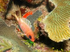 Free Squirrelfish Royalty Free Stock Photos - 15567958