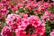 Free Rose 32 Stock Image - 15569101