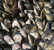 Mussels In A Huddle Stock Image