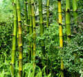 Free Green Bamboo Royalty Free Stock Photo - 15571625