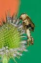 Free A Dead Grasshopper Stock Photos - 15572523
