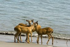 Free Deer On The Beach Royalty Free Stock Photography - 15570757