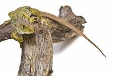 Free A Lizard Climbing A Branch. Stock Photo - 15570790