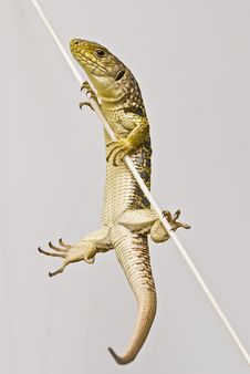 Free Ocellated Lizard Climbing A Rope. Stock Photography - 15570822