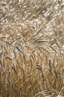 Free Crops In A Field Royalty Free Stock Photos - 15570848