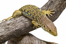 Free An Ocellated Lizard Climbing A Branch. Stock Photo - 15570860