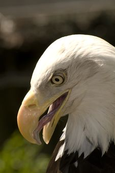 Free Bald Eagle Close Up Stock Photo - 15571440
