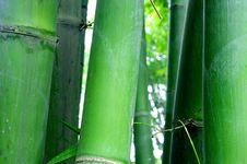 Free Green Bamboo Groves Stock Photos - 15571563