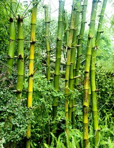 Free Green Bamboo Groves Royalty Free Stock Images - 15571669