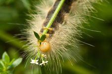 Fuzzy Caterpillar Royalty Free Stock Photography