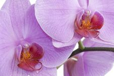 Free Orchid Royalty Free Stock Photography - 15573937