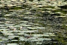 Water Lilies Swimming On Surface Of The Pond Royalty Free Stock Images