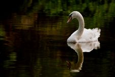 Free Swan In A Pond Stock Image - 15575311