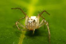 Free Crab Spider Stock Photo - 15577100