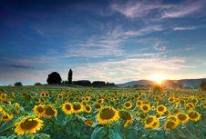 Free Beautiful Sunflowers Stock Images - 15577124