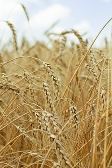 Free Ripe Wheat Against Blue Sky Royalty Free Stock Photography - 15577217
