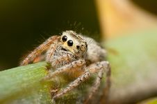 Free Jumping Spider Royalty Free Stock Photo - 15577255